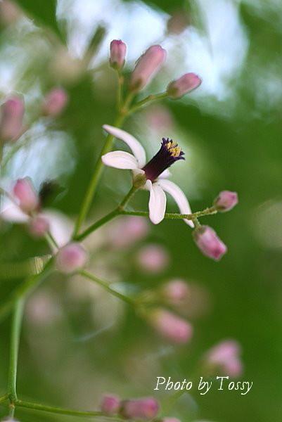 センダンの花3
