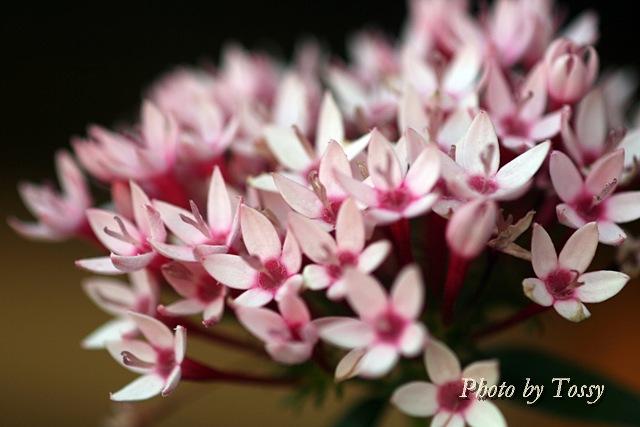 ペンタス 薄いピンク