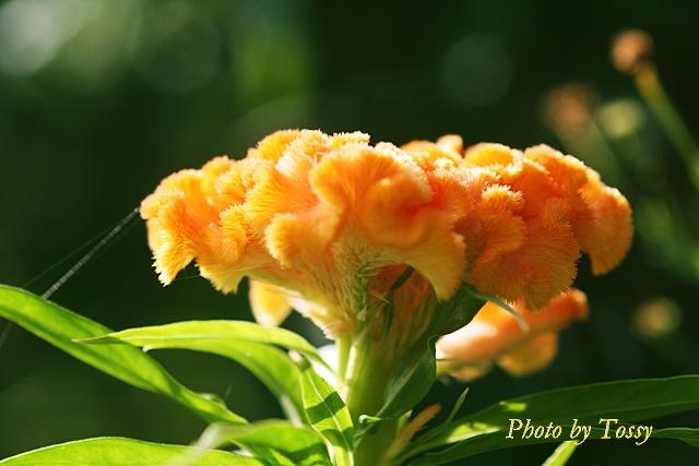 ケイトウ 'オレンジクイーン'2