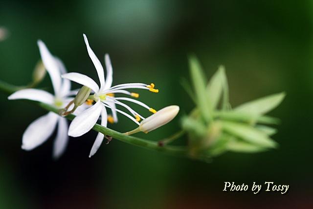 オリヅルラン 花1