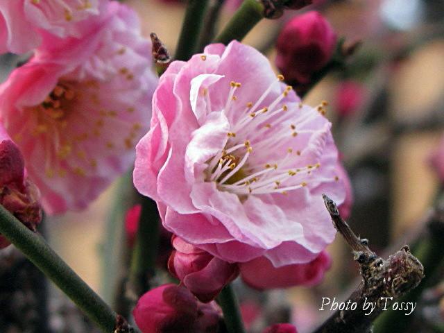 梅 八重咲き4