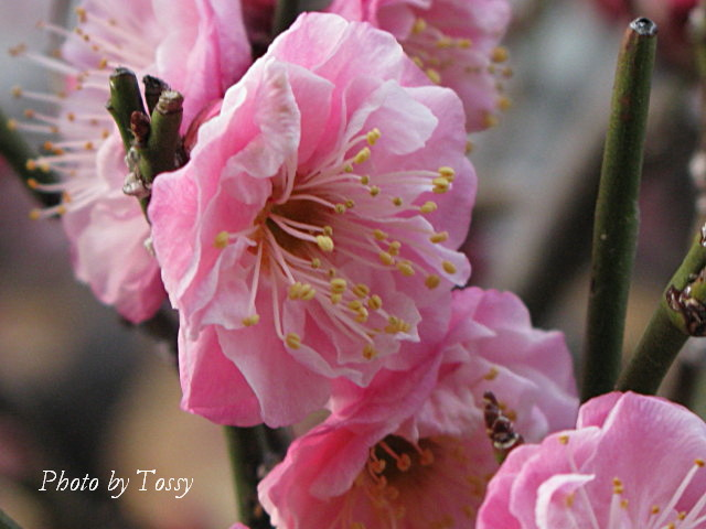 梅 八重咲き1
