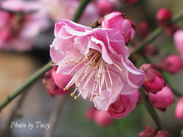 梅 八重咲き2