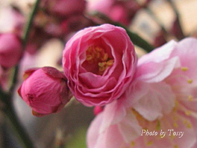 梅 八重咲き3