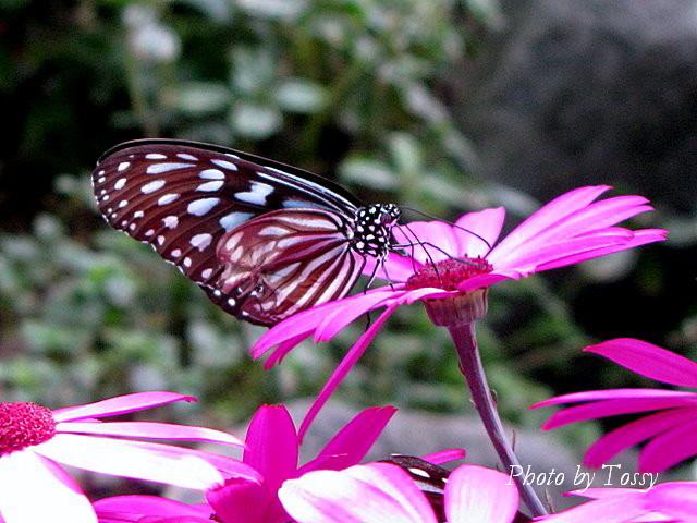 星咲きサイネリア 蝶はリュウキュウアサギマダラ