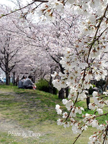 桜の下で4