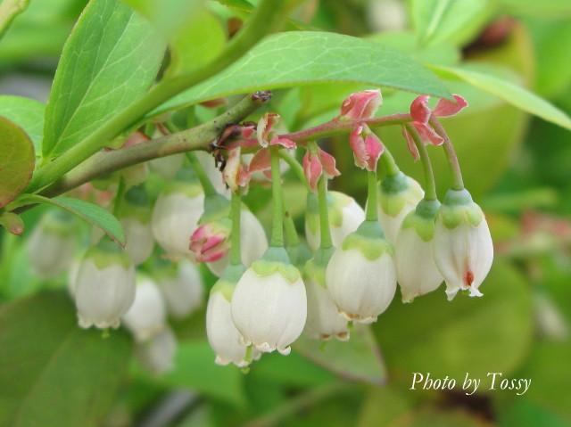 ブルーべっリーの花2