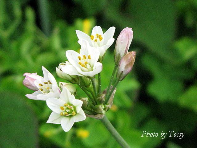 ノビル 花