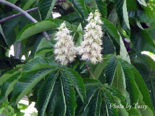 トチノキ 花