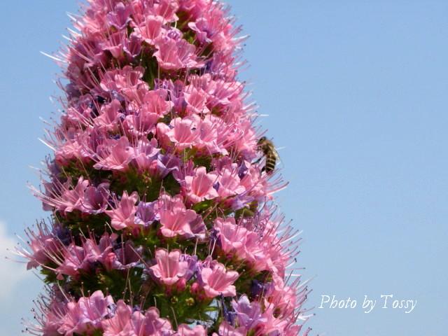 エキウムとミツバチ