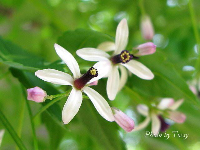 センダンの花1