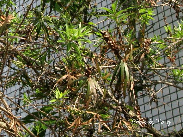 ブラシの木 種