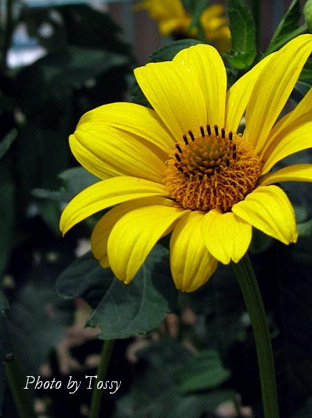黄色いダリア