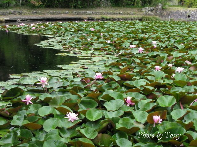 池のスイレン