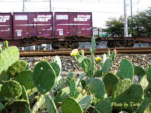 ウチワサボテンと貨物列車