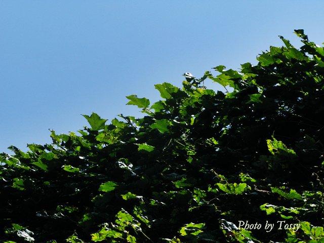 夏空とツタ