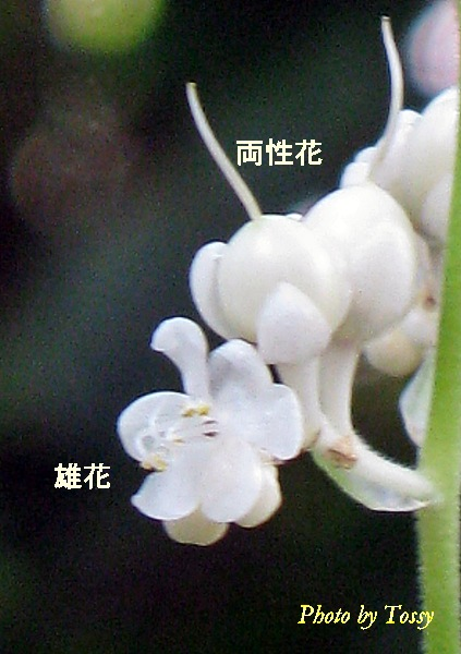 雄花と中性花