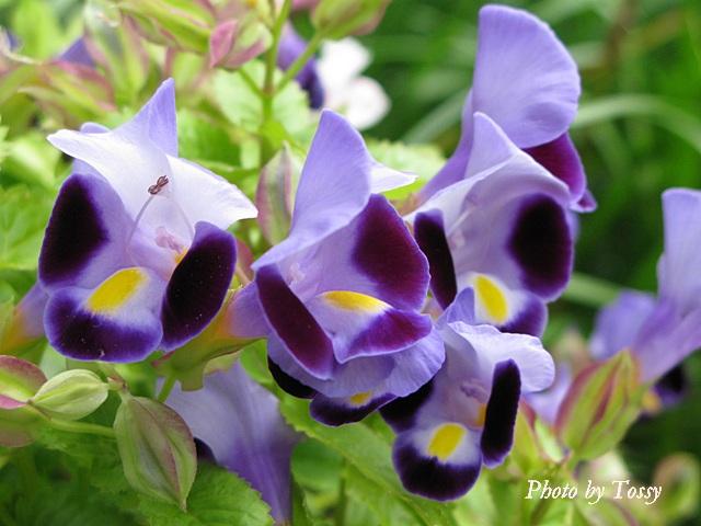 トレニア 紫2
