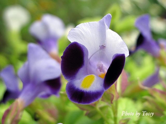 トレニア 紫