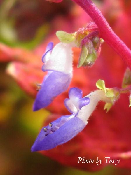 コリウスの花1
