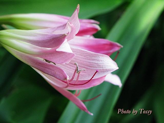 インドハマユウ ピンク