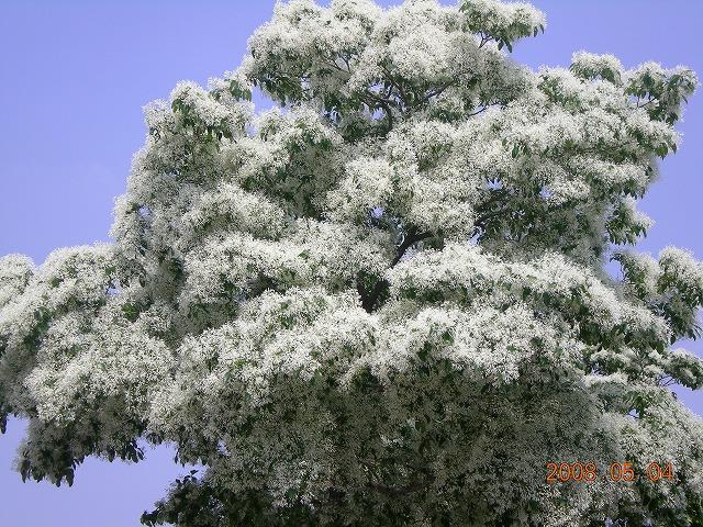 東山さん撮影 なんじゃもんじゃの木