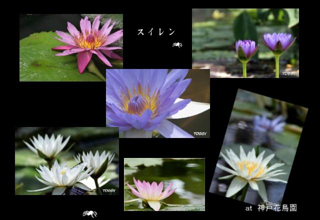 花鳥園のスイレン