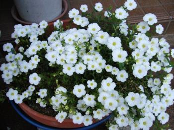 わたしの花