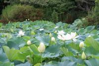 平家池の蓮