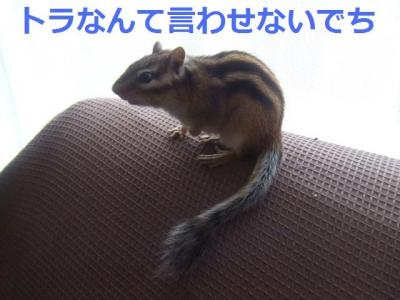 チビタの尻尾1