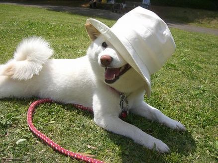 なんちゃってジュリー犬
