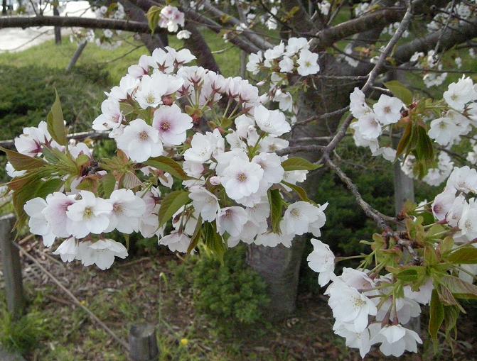 潮風公園の桜