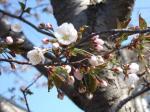 今朝、発見の桜!