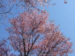 濃いピンクの桜です。