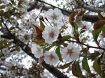 ウォーキングコースの桜 その2