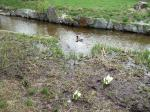 水芭蕉と鴨