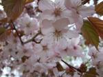 公園の桜 その1
