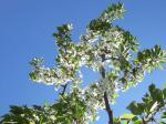 さくらんぼの花1