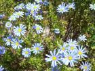 bluedaisy
