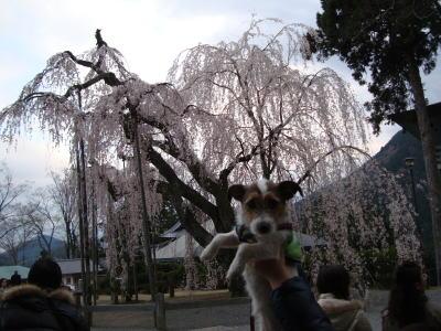 樹齢400年しだれ桜とミミ