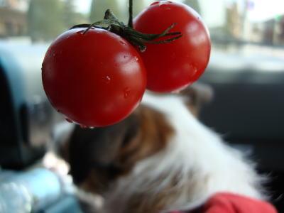 双子ちゃんプチトマト