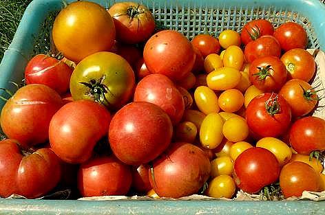 トマトの収穫♪