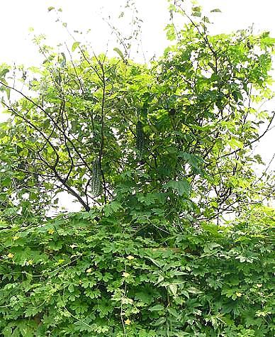 上段の梨の木に♪