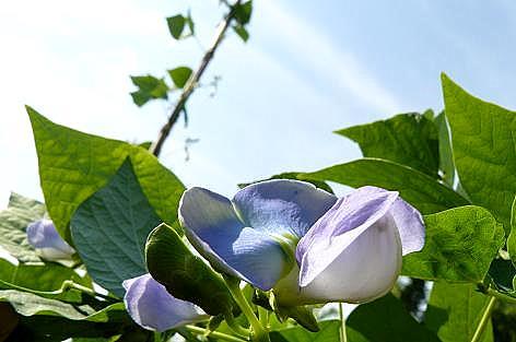 まだまだシカク豆の花♪