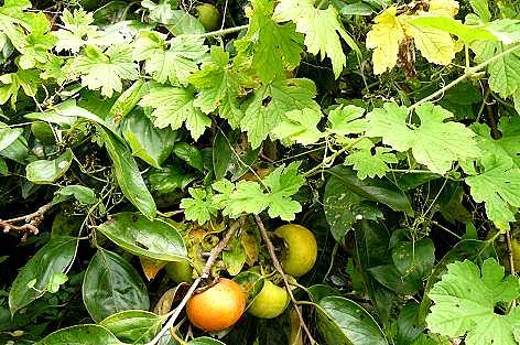 ボウボウの柿が♪