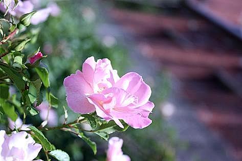 真夏のバラが♪