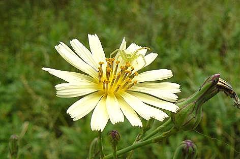 黄色い野菊♪
