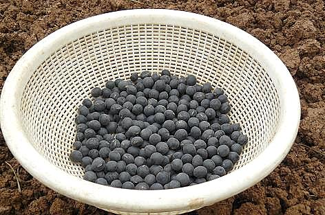 6月初め、黒豆の種♪