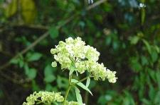 オトコエシの花のあと♪