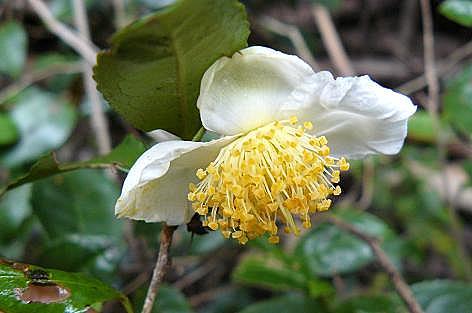 お茶の花♪